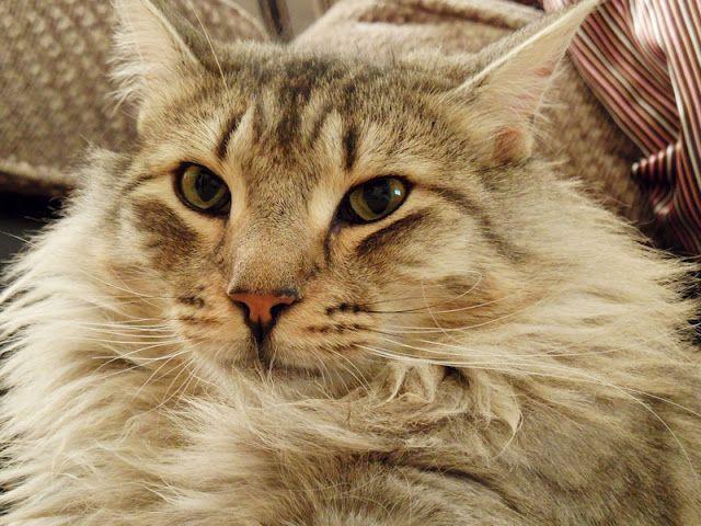 isak your cat breed.jpg